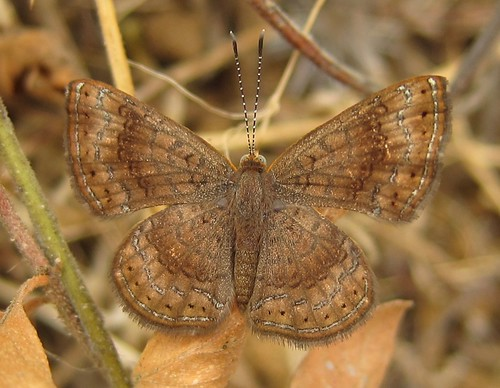 butterfly ecuador jorupe loja richhoyer riodinidae riodininae riodinini urracalodge