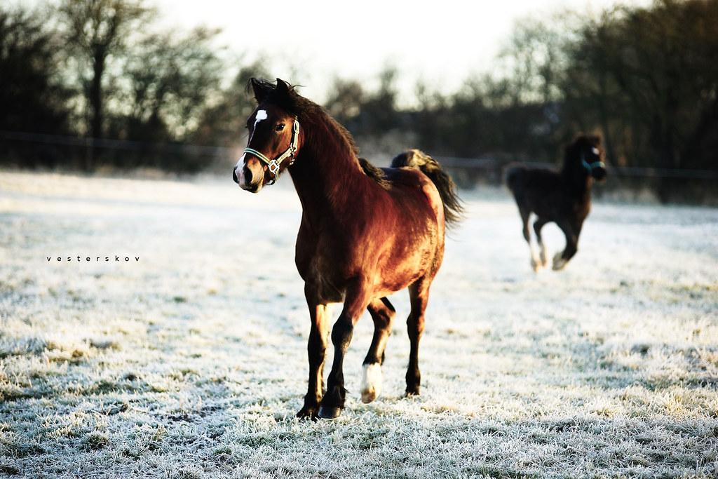 Steaming hot Welsh colt 'Parc Alfe'