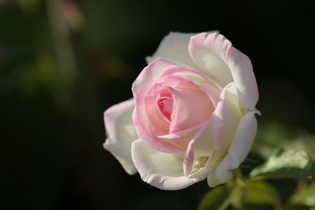 RUS57527(White-pink Rose)