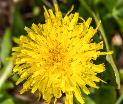 Dandelion Flower | by HollandHouse.Photography