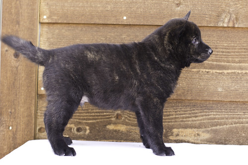 Ayui-Litter4-Day48-Puppy5-Male()-d | by brada1878