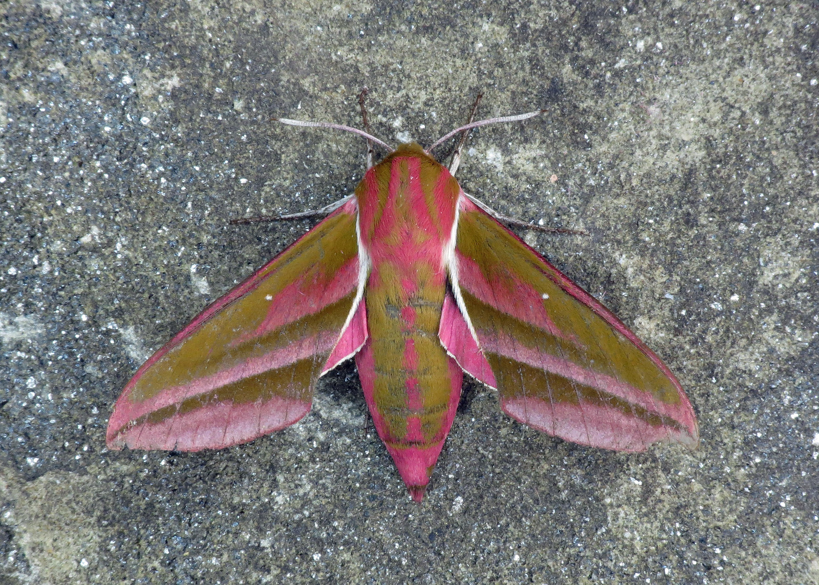 1991 Elephant Hawk-moth - Deilephila elpenor