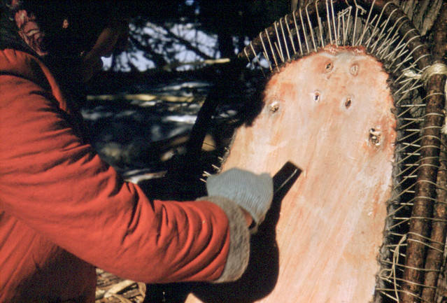Woman of the Echum family fleshing a beaver pelt and scraping it during the