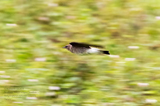 Southern Rough-winged Swallow ; Trinidad | by Kamal50