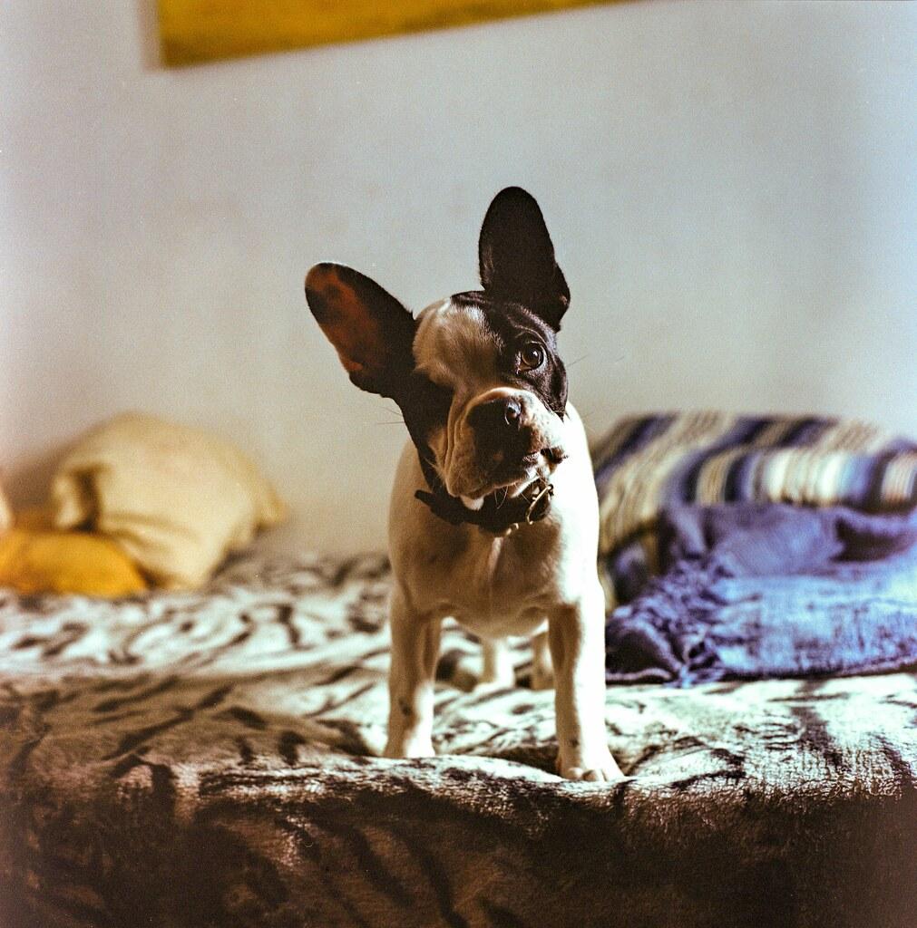 Big Bioy (French Bull Dog) (Explore)