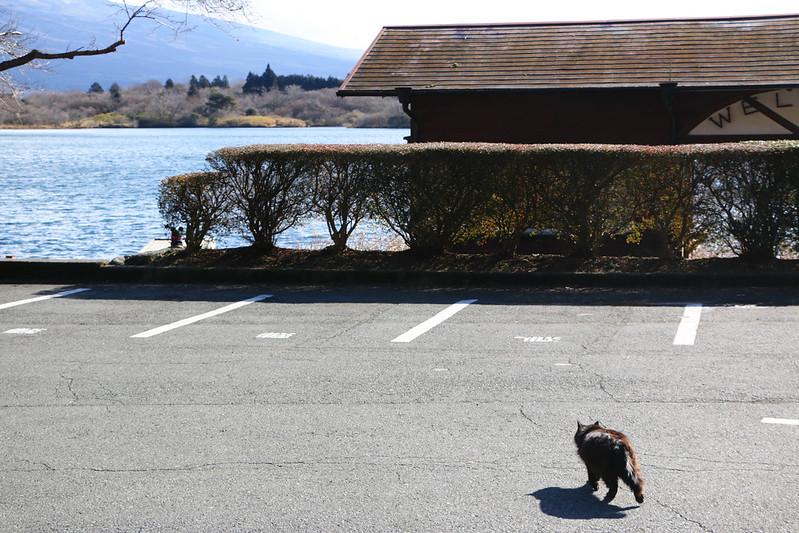 田貫湖キャンプ場の猫