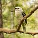 Kookaburra 3