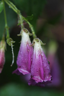 Nothochelone nemorosa -- (woodland beardtongue) | by manoa72
