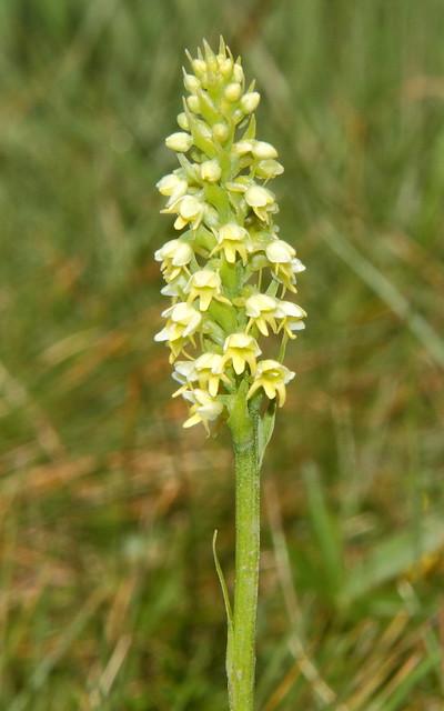 Pseudorchis albida 197 14 002