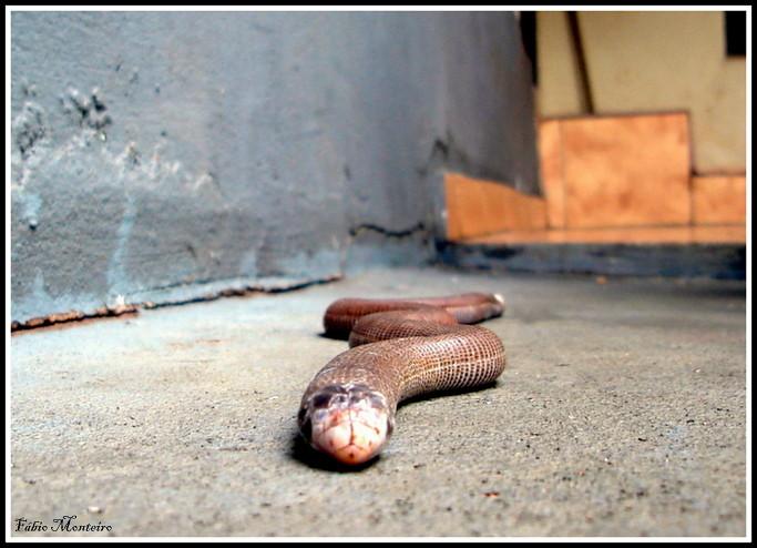 Cobra-cega / Blind-snake