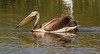 Great White Pelican by Cyprus Bird Watching Tours - BIRD is the WORD