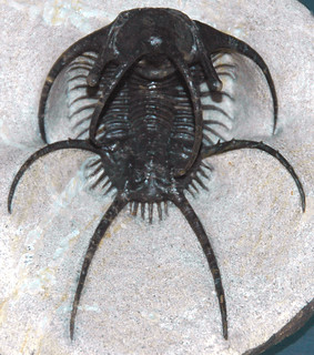 Ceratarges spinosus fossil trilobite (AM Limestone, Middle Devonian; southern Morrocco)
