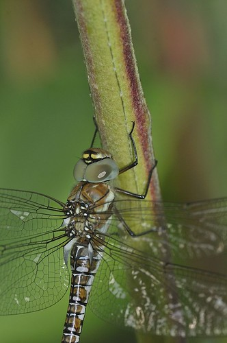 Migrant Hawker | by markhows