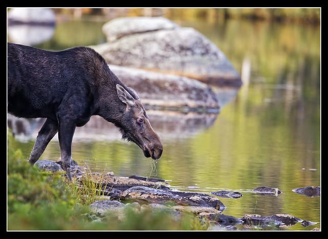 Moose Breakfast..