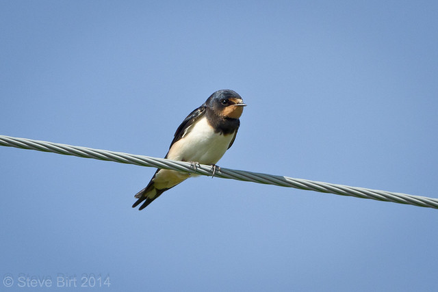 Swallow 002