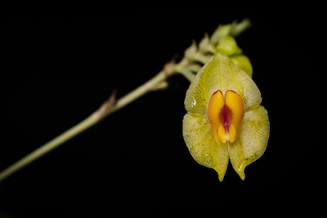 Lepanthes gargantua