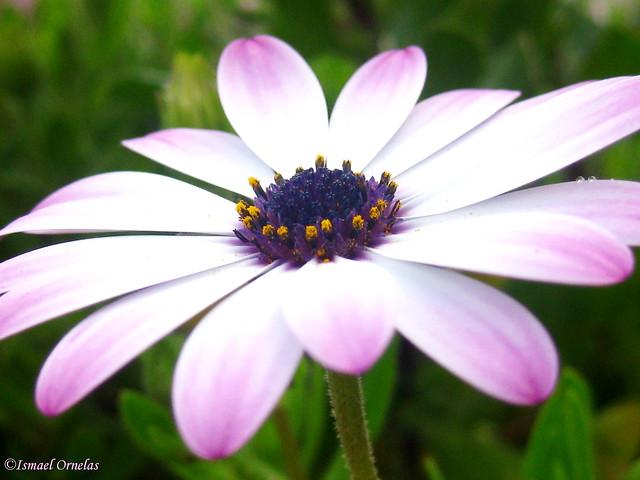 A flor/The flower