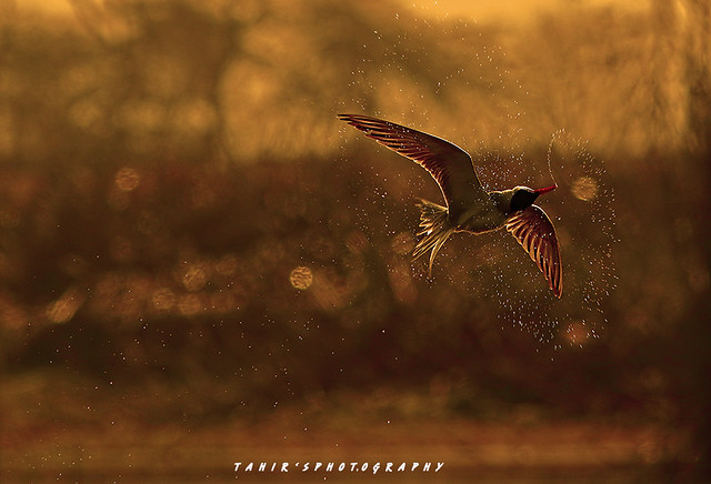 Colors of Nature (river tern)
