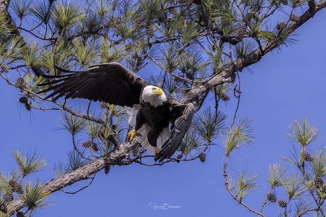 BC Bald Eagle Female 13