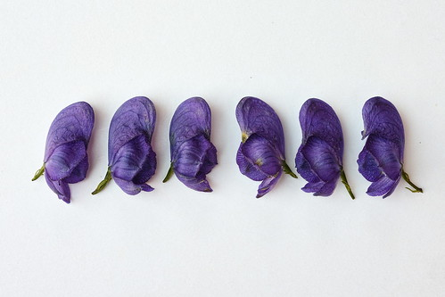 DP2M3129  A Line of Aconite Flowers (Aconitum napellus) from the Dacha Garden