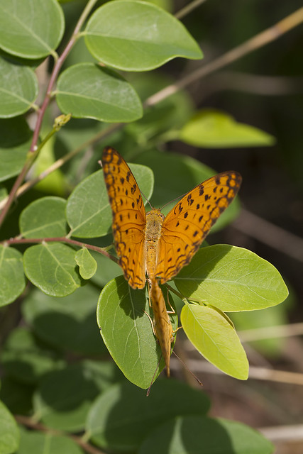 Leopard Butterfly From the Macro World