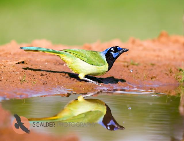 Green Jay drinking water
