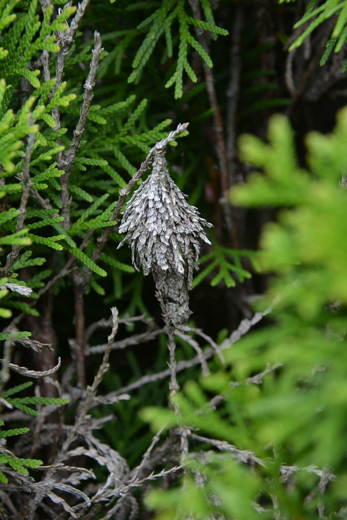 Bagworms | Bagworm on arborvitae in Delaware | Delaware