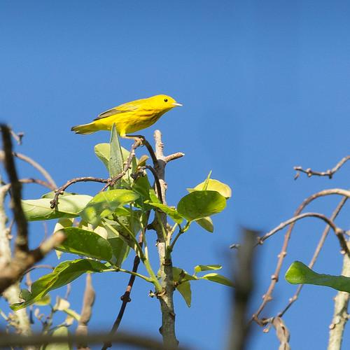 Yellow Warbler | by Kamal50