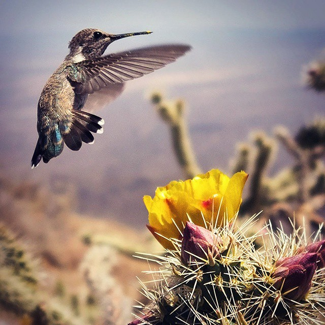 #Hummingbird #Arizona #Sonoran #Harquahala
