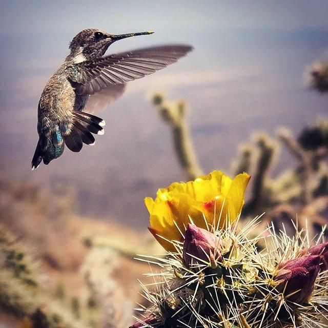 #Hummingbird #Arizona #Sonoran #Harquahala