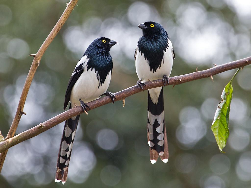 Magpie Tanager (Cissopis leveriana)