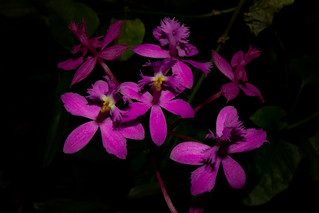 Epidendrum secundum | by Markus Branse