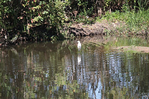 bird containmentpond egret egrettathula nature naturewalk pond snowyegret suburban suburbanwildlife texas thewoodlands wildbird zeesstof