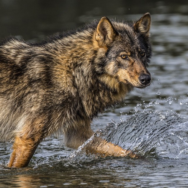 @paulnicklen on assignment for #natgeo with @cristinamittermeier and @oren.lawson After two weeks of waiting, this incredible coastal #wolf graced us with her presence. For hours we watched her feed and play in the intertidal zone where shore meets ocean.