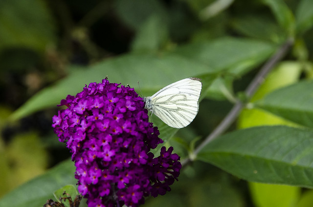 Green-veined White, Mansell Gamage, Herefordshire