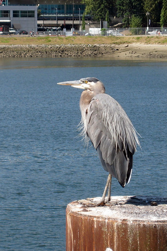 Great blue heron | by dmmaus