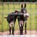 Our donkey neighbors