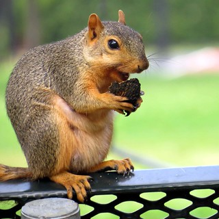 Is the munching squirrel smiling?   by kennethkonica