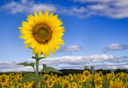 field sunrise photography newjersey unitedstates farmland sunflower agriculture select publish herbaceous floriculture frankford collectionflowers publishflickr