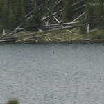 Common Loon in Ice Lake