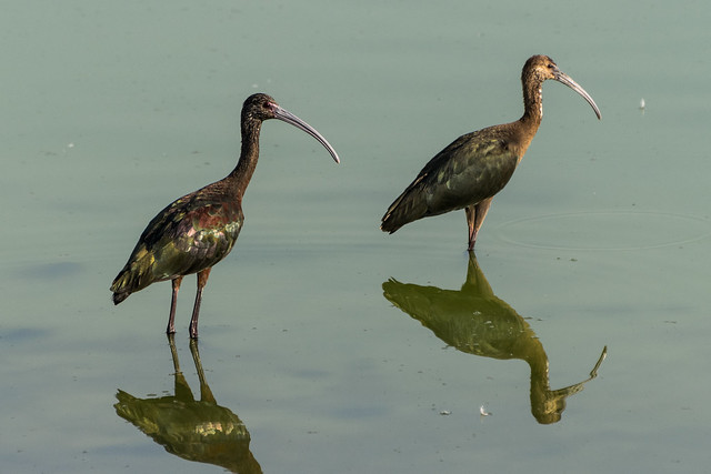 White-faced ibis pair