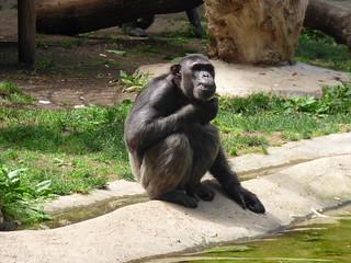 Chimpancé | by L.Enrique Mangas