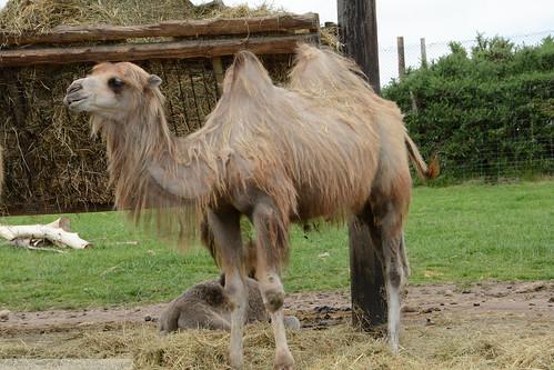 West Midlands Safari Park - Bactrian Camel