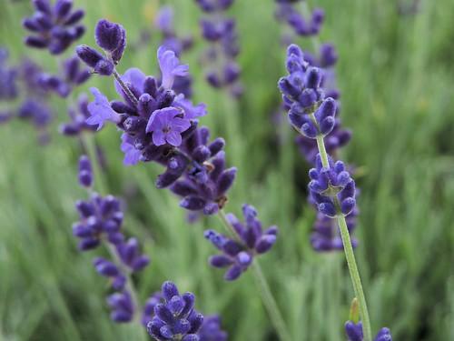 201407041250020 Lavender, English (Lavandula angustifolia) - Yule Love it Lavender Farm - Oakland Co | by pverdonk