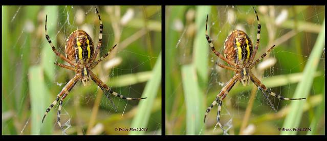 wasp spider - 3d crossview