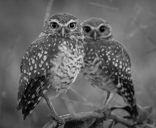 Coruja-buraqueira / Burrowing Owl ( Athene cunicularia )   by Alexandre Tanure Figueiredo