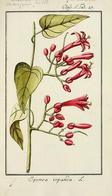 Ipomoea repanda - circa 1785