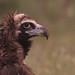Abutre-negro - Aegypius monachus - Black Vulture