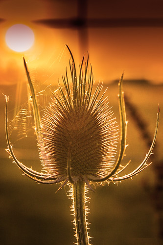 sunset kent thistle
