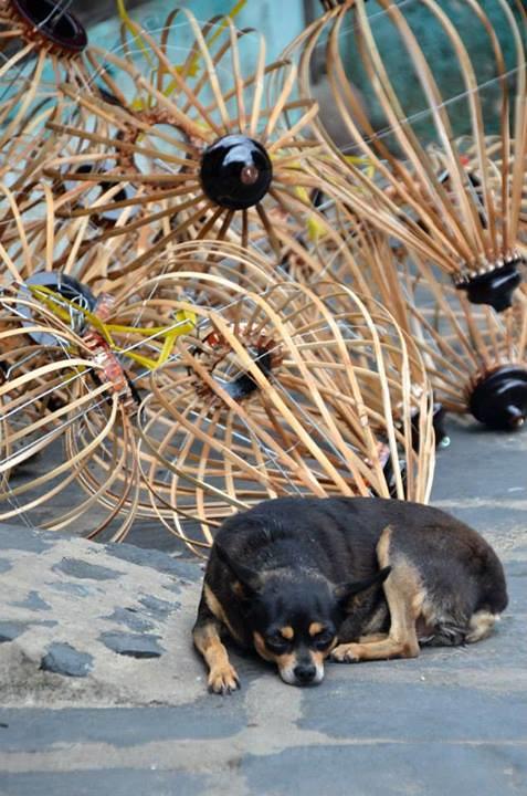 Lantern maker's chubby chihuahua
